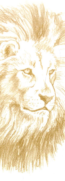 Illustration of male lion for Lion of Africa Insurance